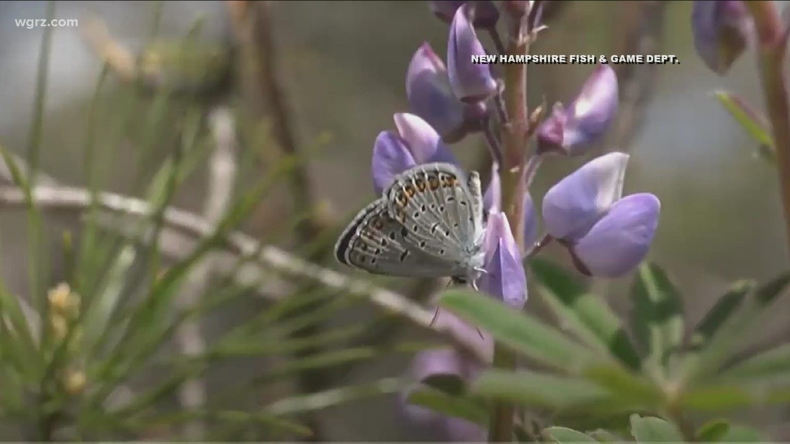 WNY group works to restore Karner blue butterfly population