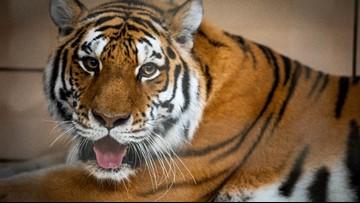 Buffalo Zoo welcomes endangered Amur tiger