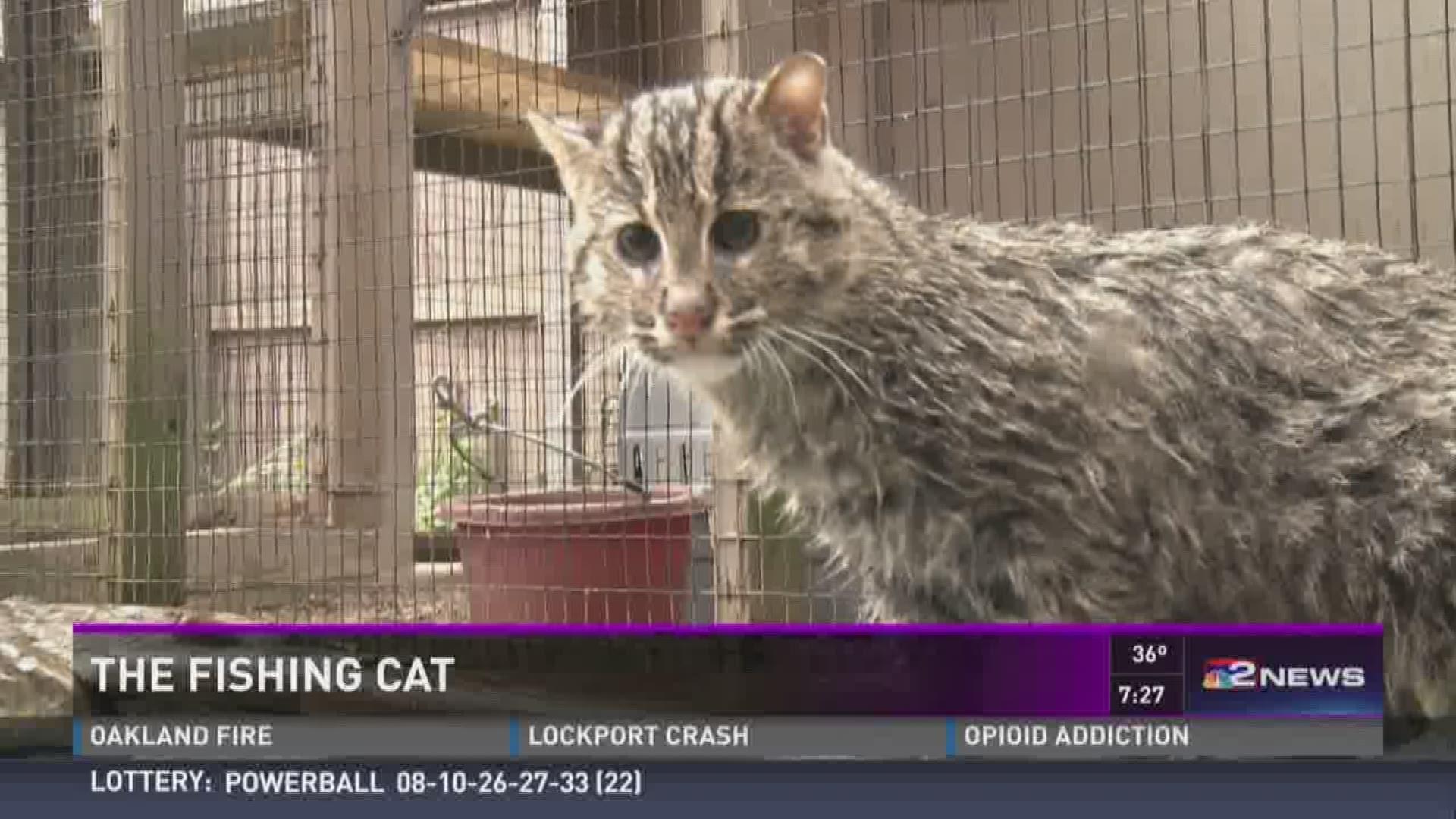 The Fascinating Fishing Cat Wgrz Com
