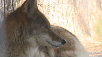 Conflicts with coyotes can be prevented across Western New York
