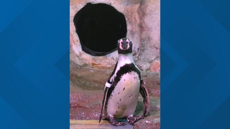 Aquarium of Niagara welcomes new penguin