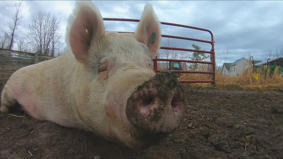 2 the Outdoors: The intelligence of pigs