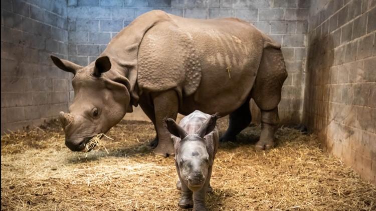 Buffalo Zoo baby rhino