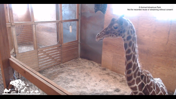 April the Giraffe is nearing labor