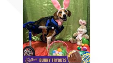 2-legged dog is a finalist to be the next Cadbury Bunny